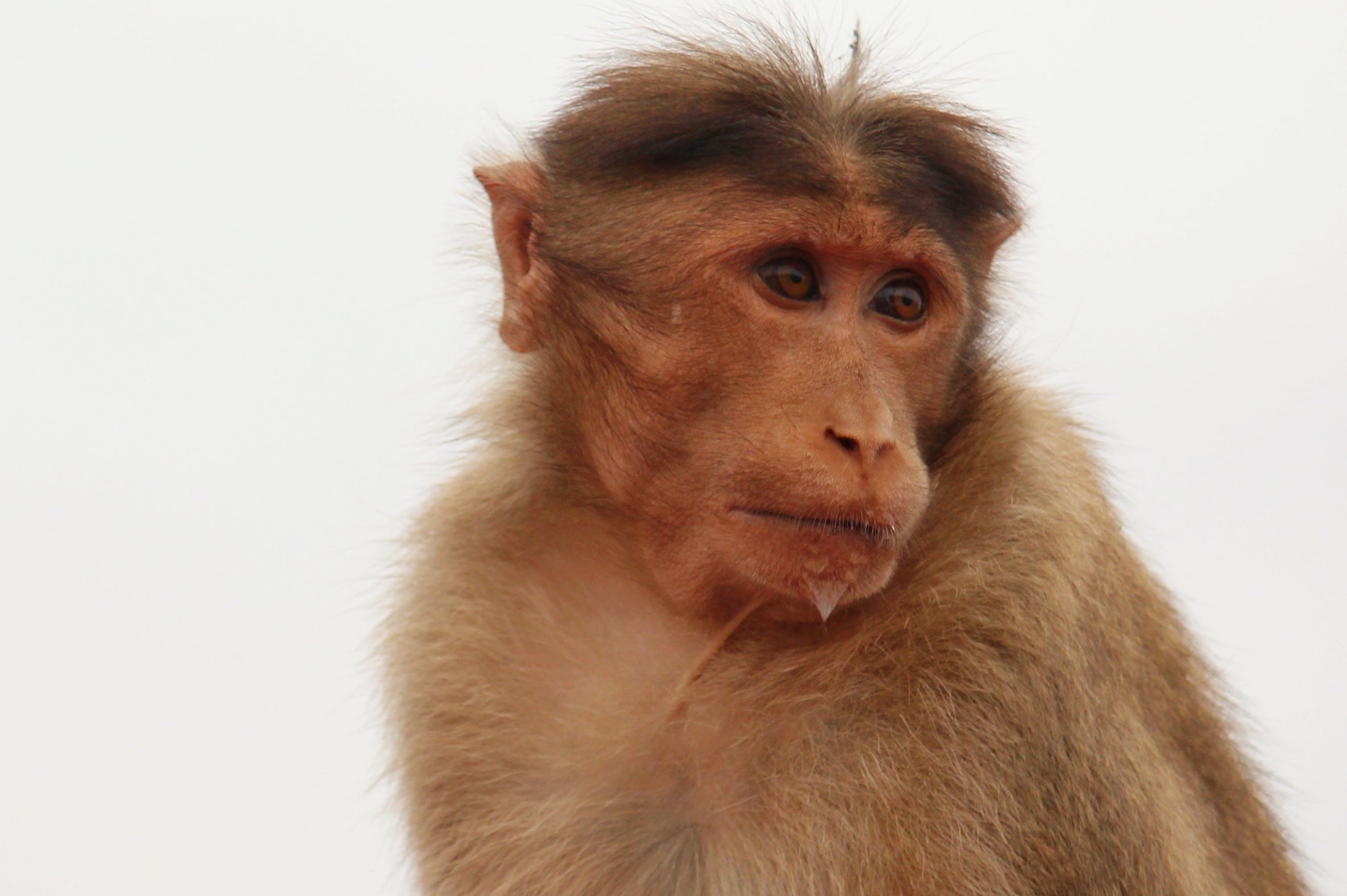 Free stock photo of nature, animal, monkey, india
