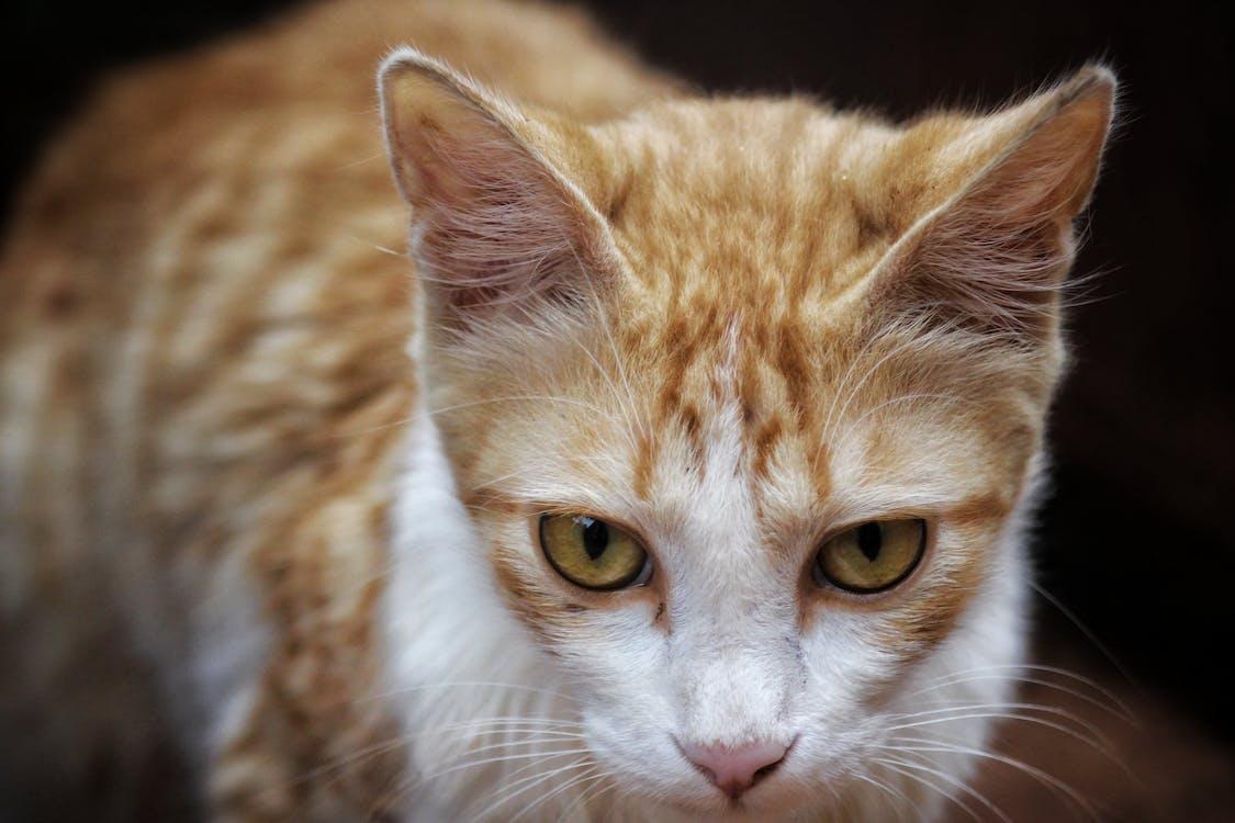 Shallow Focus Photography of Orange Tabby Cat