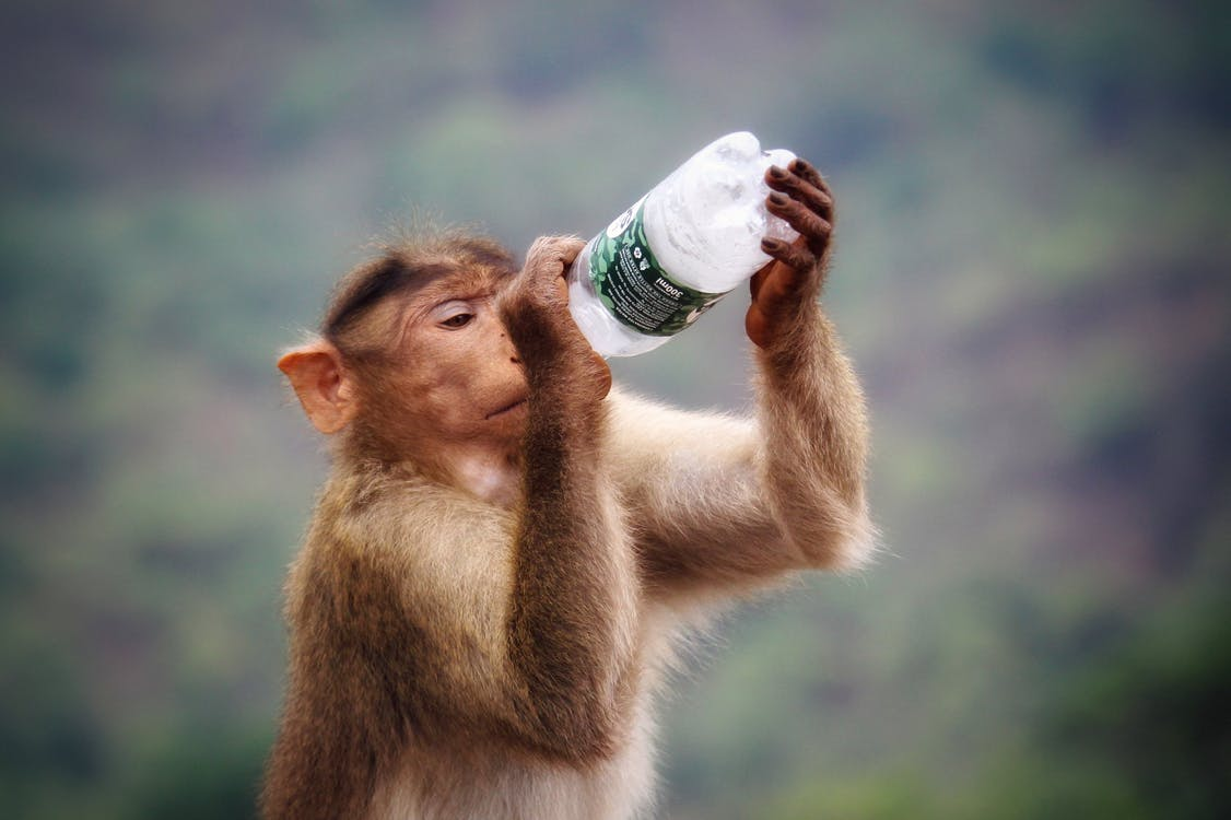 Primate Holding Clear and Black Labeled Bottle