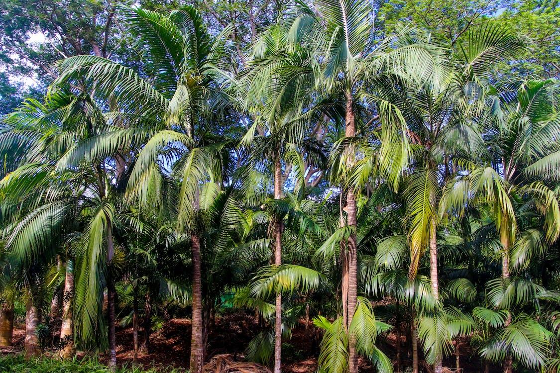 エキゾチック, ココナッツの木, パルム