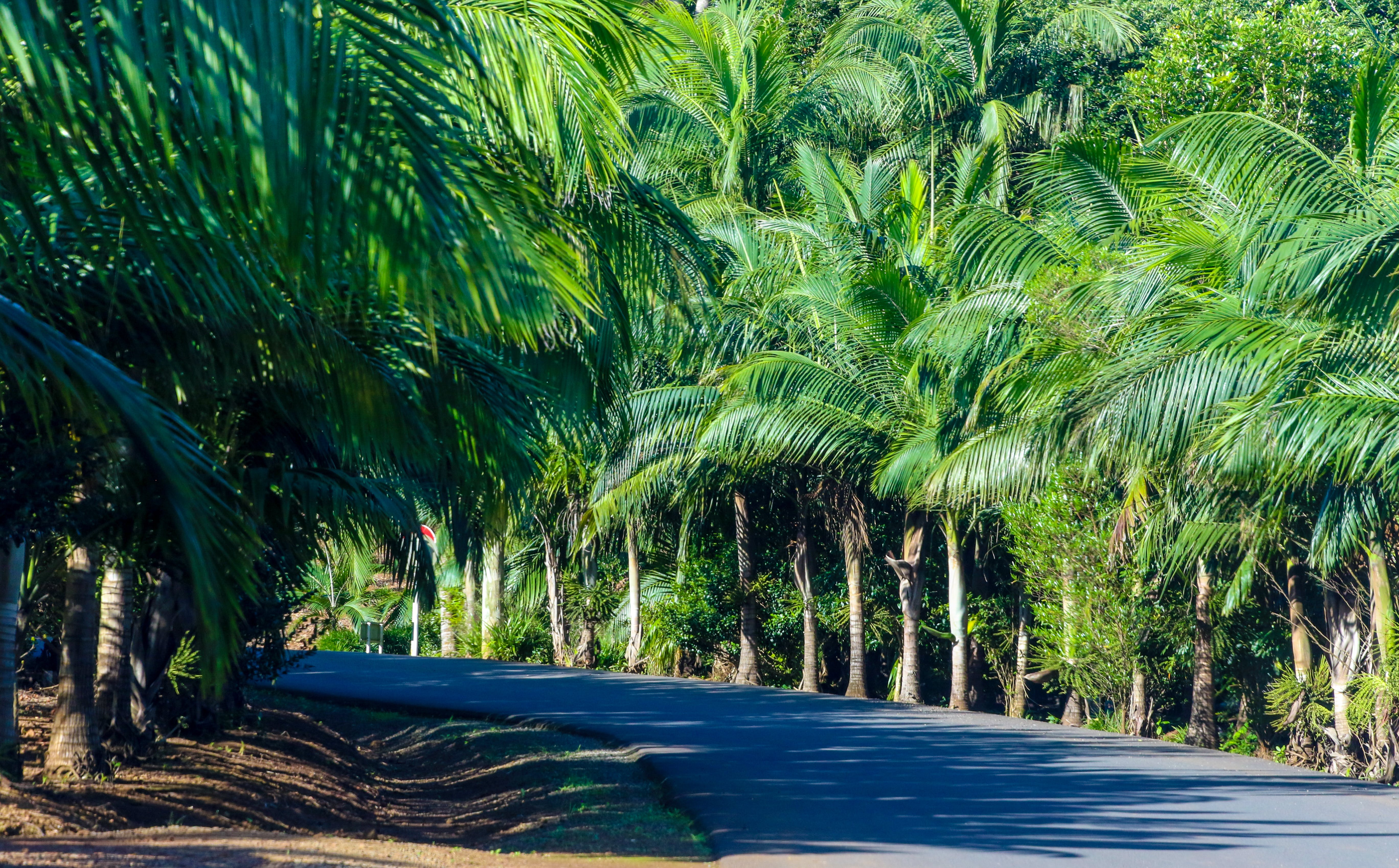 Gray Concrete Road Between Green Palm Tress