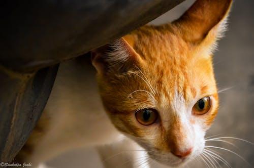 Free stock photo of animal photography, animal portrait, cat, cat face