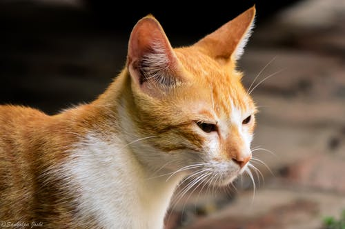 Kostnadsfri bild av djurfotografi, djurporträtt, ilska, katt