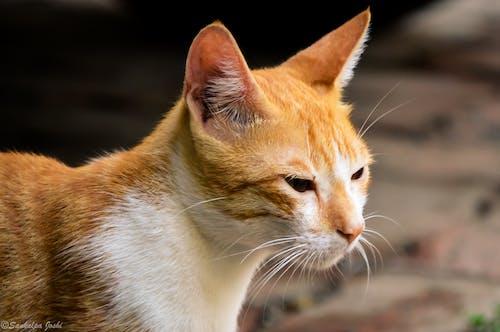 Free stock photo of anger, animal photography, animal portrait, cat