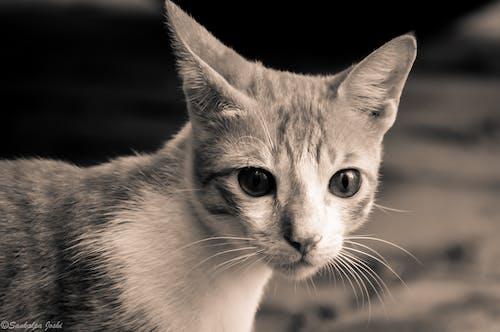 Kostnadsfri bild av djur, djurfotografi, djurporträtt, katt