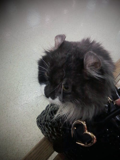 Ilmainen kuvapankkikuva tunnisteilla amerikkalainen curl, eläin, kissa, kissanpentu