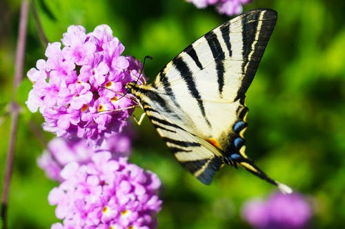 Closeup Photography of Tiger Swallowtail Butterfly Perched on Purple Cluster Petaled Flowers