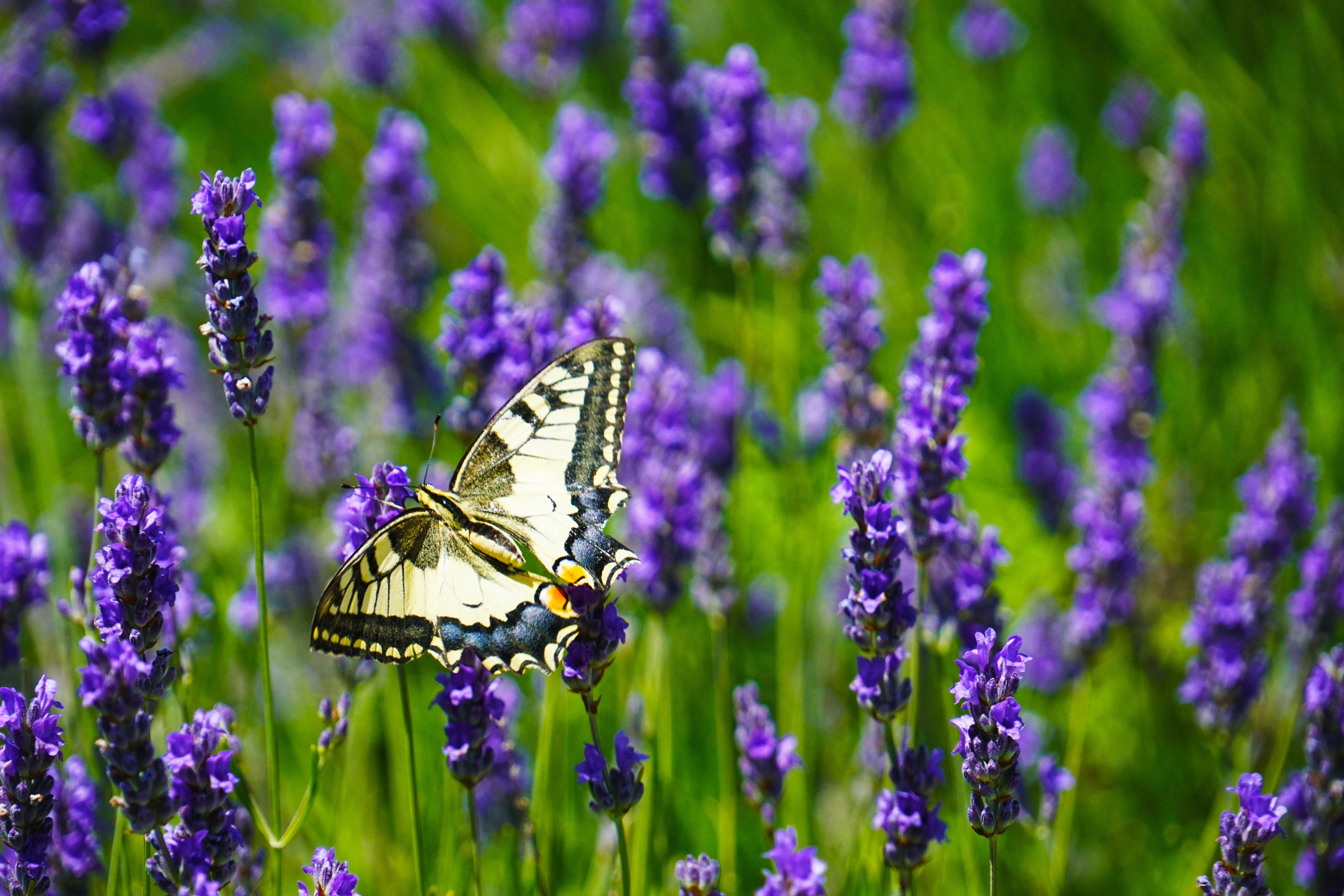 Close-Up Photography of Butterfly Perched on Lavender Flower