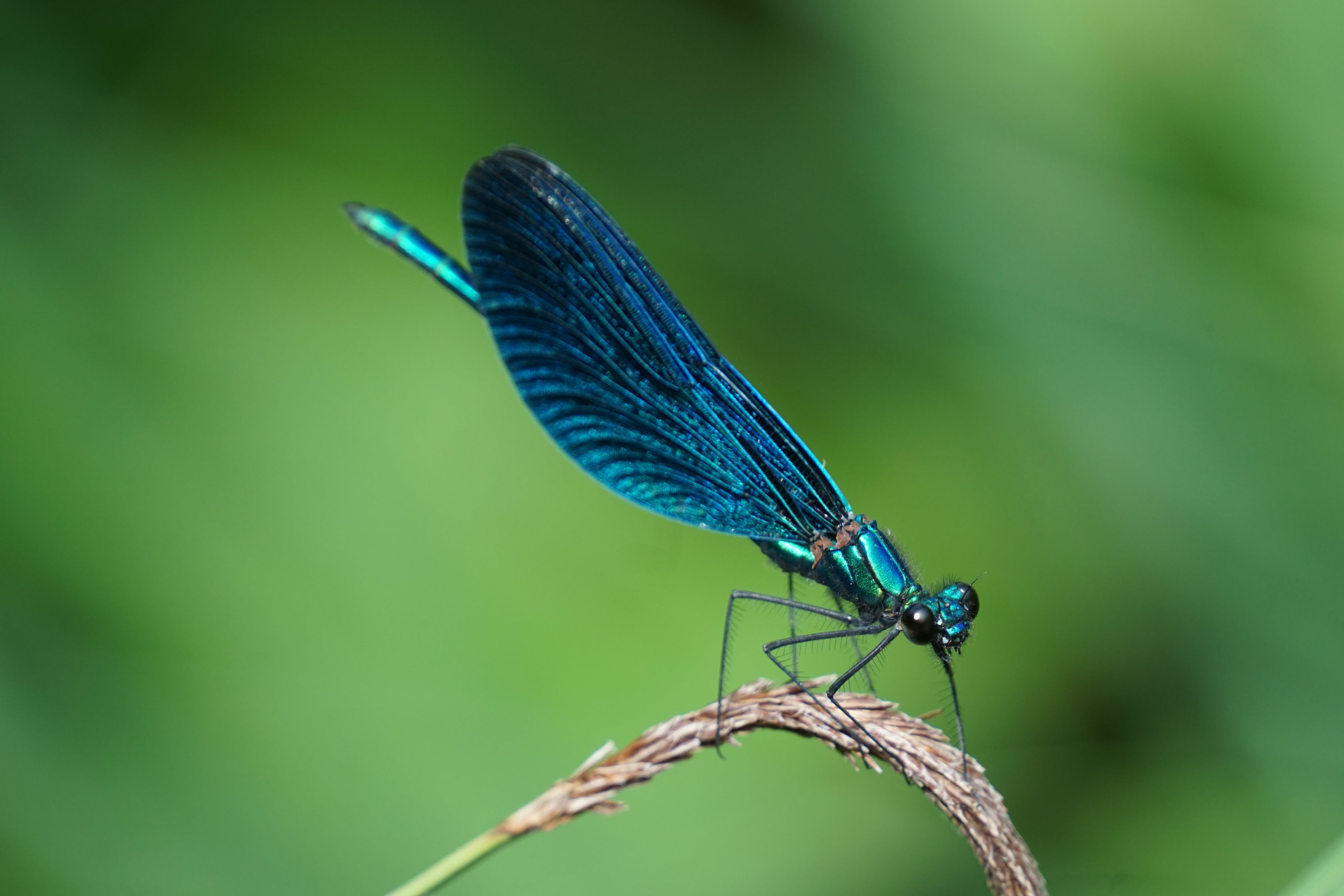 Shallow Focus Photography of Blue Dragonfly