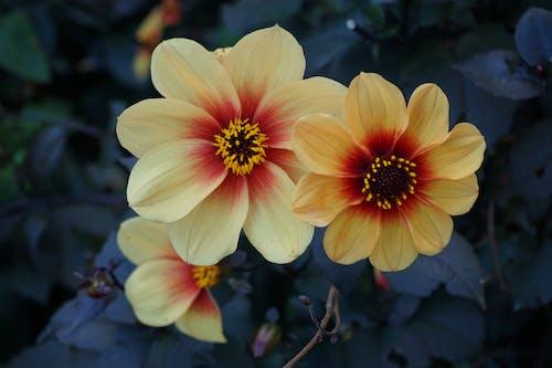 Foto d'estoc gratuïta de flor, florir, natura, vida
