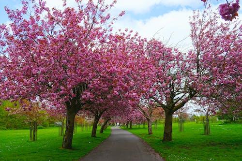Foto d'estoc gratuïta de arbre, cirera, flor, florir