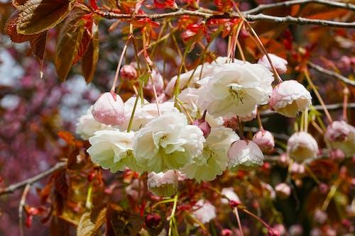 Fotobanka sbezplatnými fotkami na tému kvet, kvet ovocného stromu, kvitnutie, príroda