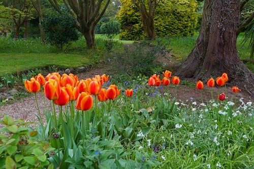 Foto d'estoc gratuïta de flors, tulipes