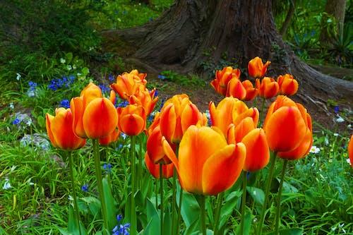 Fotobanka sbezplatnými fotkami na tému kvety, tulipány
