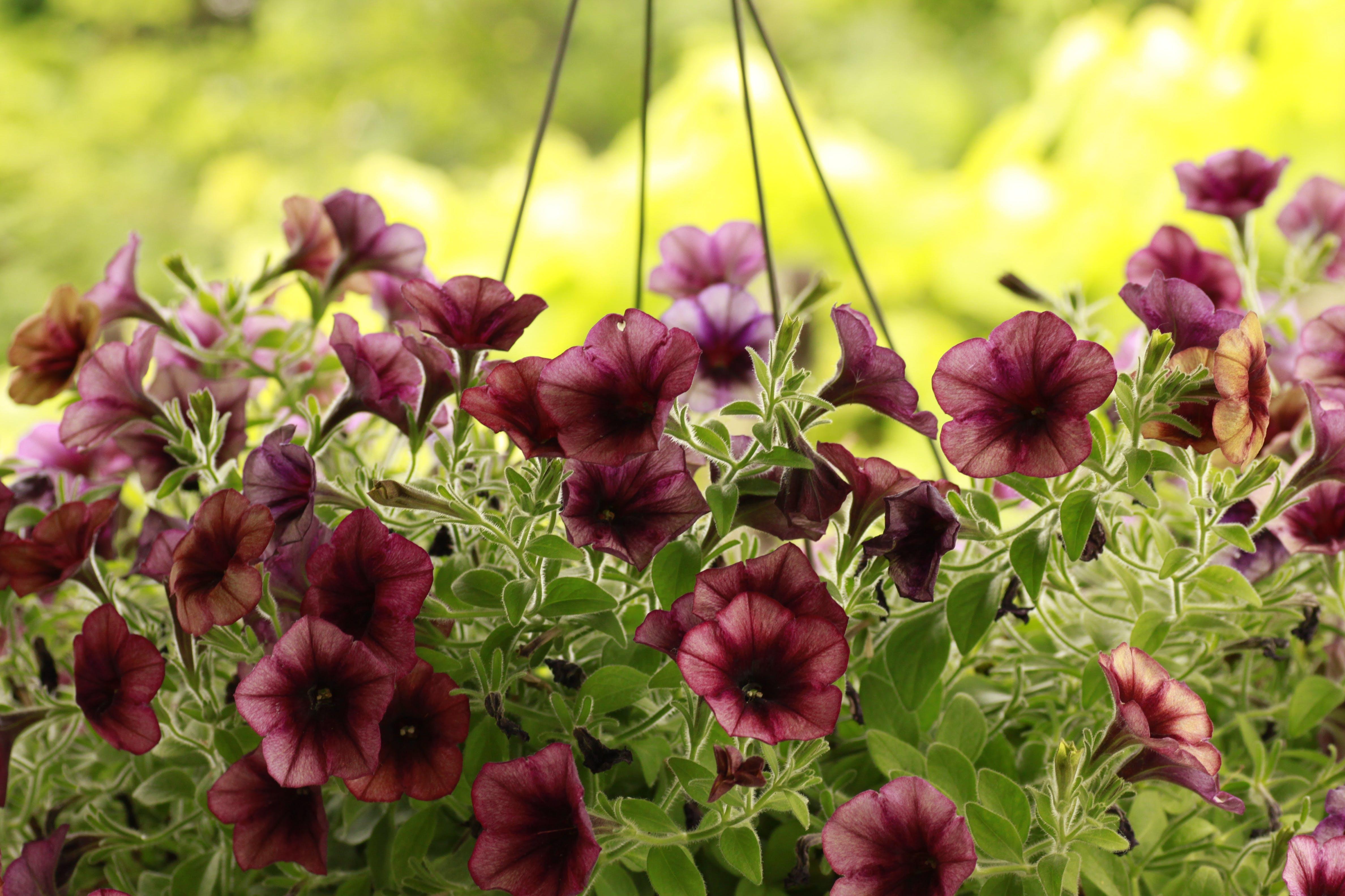 Free stock photo of petunias