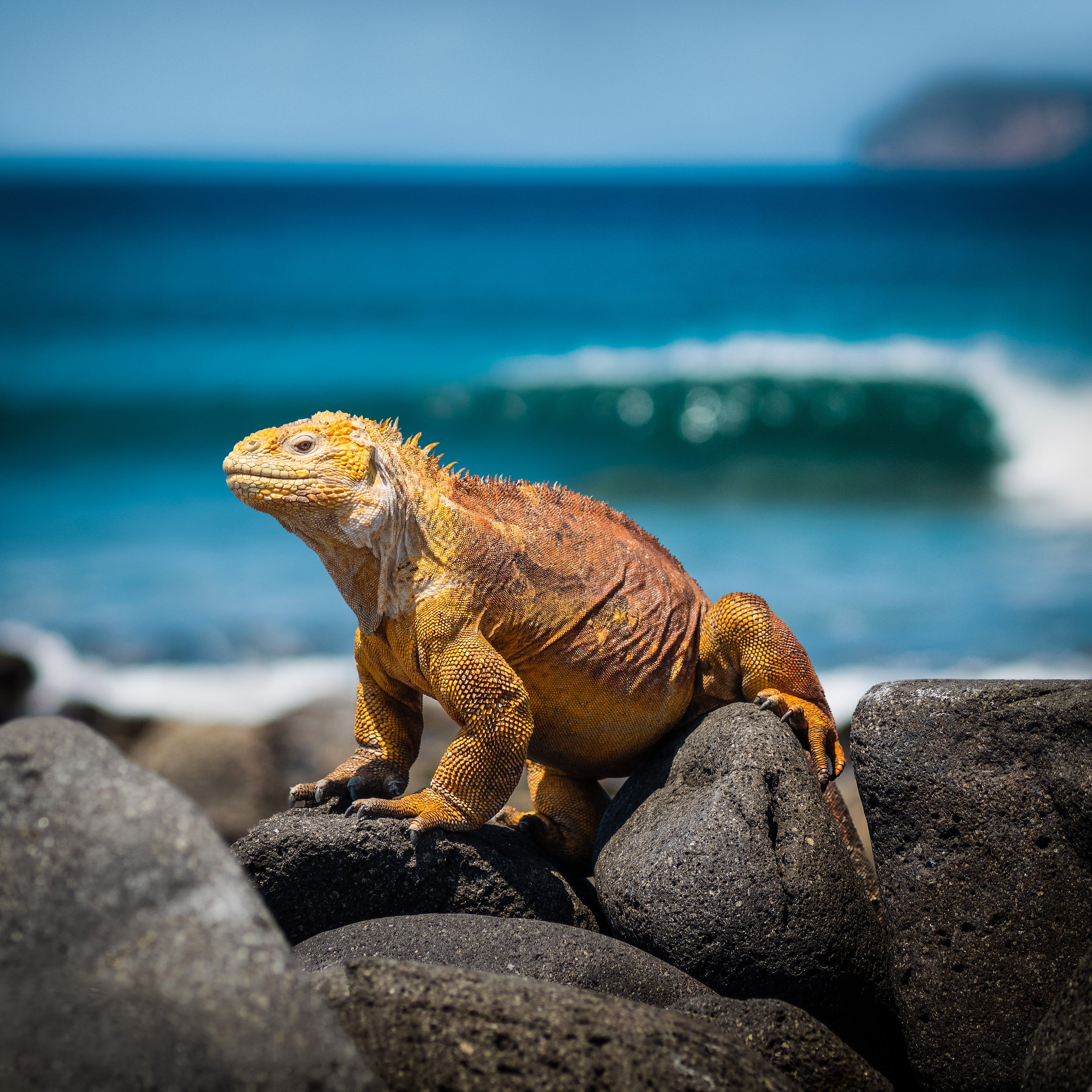Orange Iguana Standing on Rocks