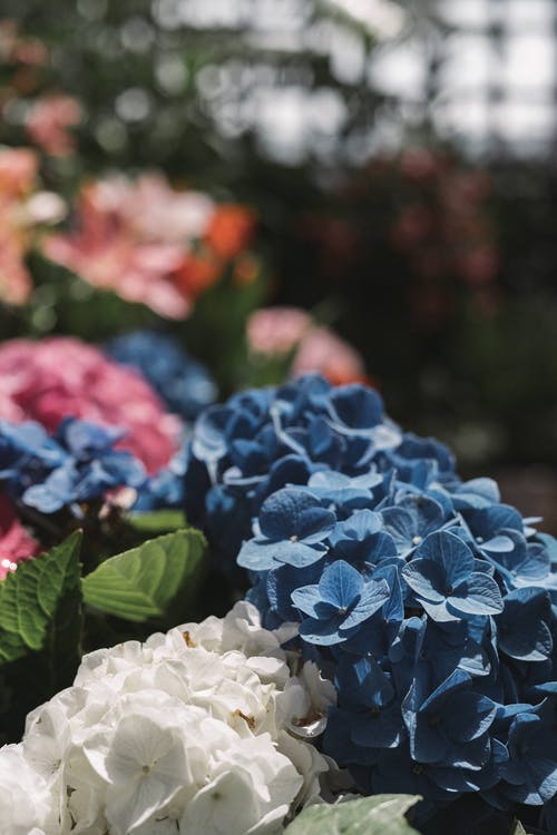 сине белые цветы гортензии крупным планом