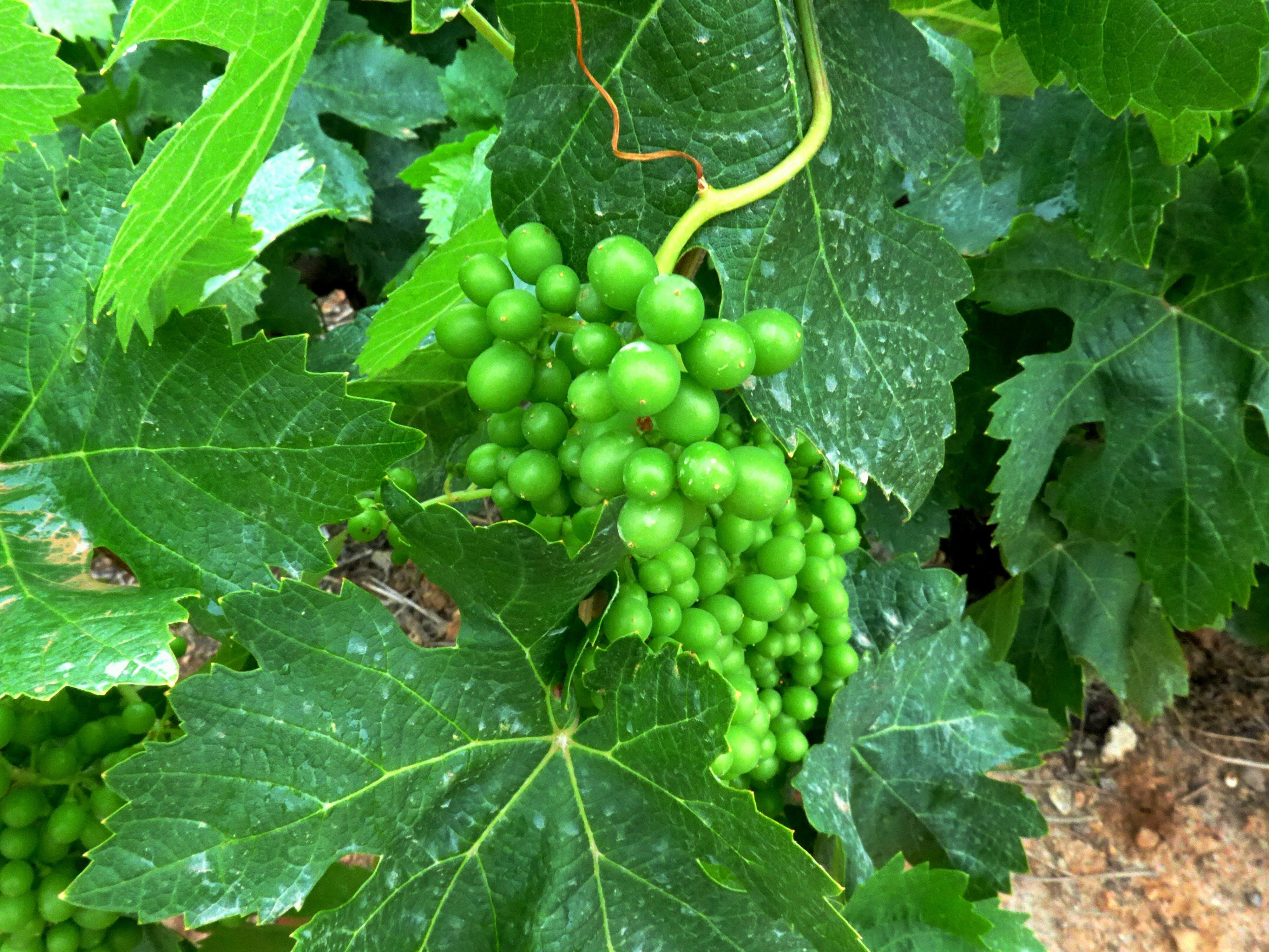 Free stock photo of wine, wine grapes