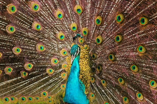 Close-up Photo of Peacock