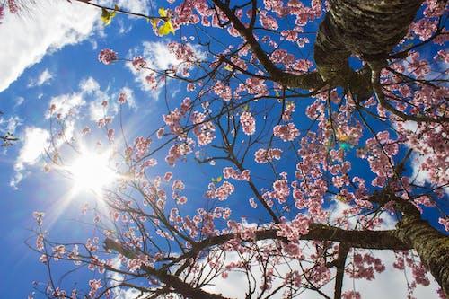 Základová fotografie zdarma na téma cerejeira, Japonsko, květina růžová, kytka