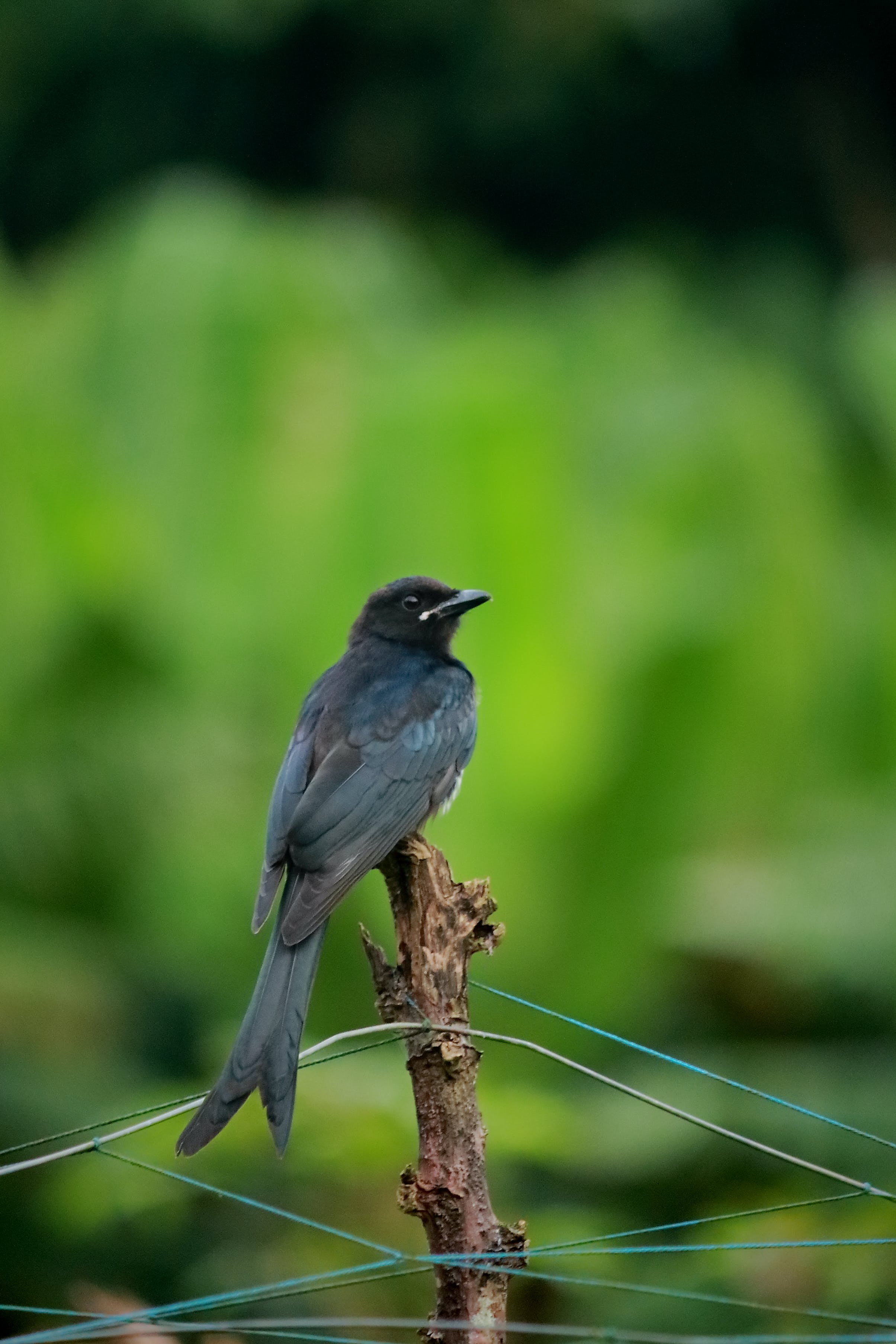 Free stock photo of ashy, Ashy drongo, asia, bird