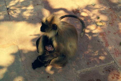 動物, 猴子 的 免費圖庫相片