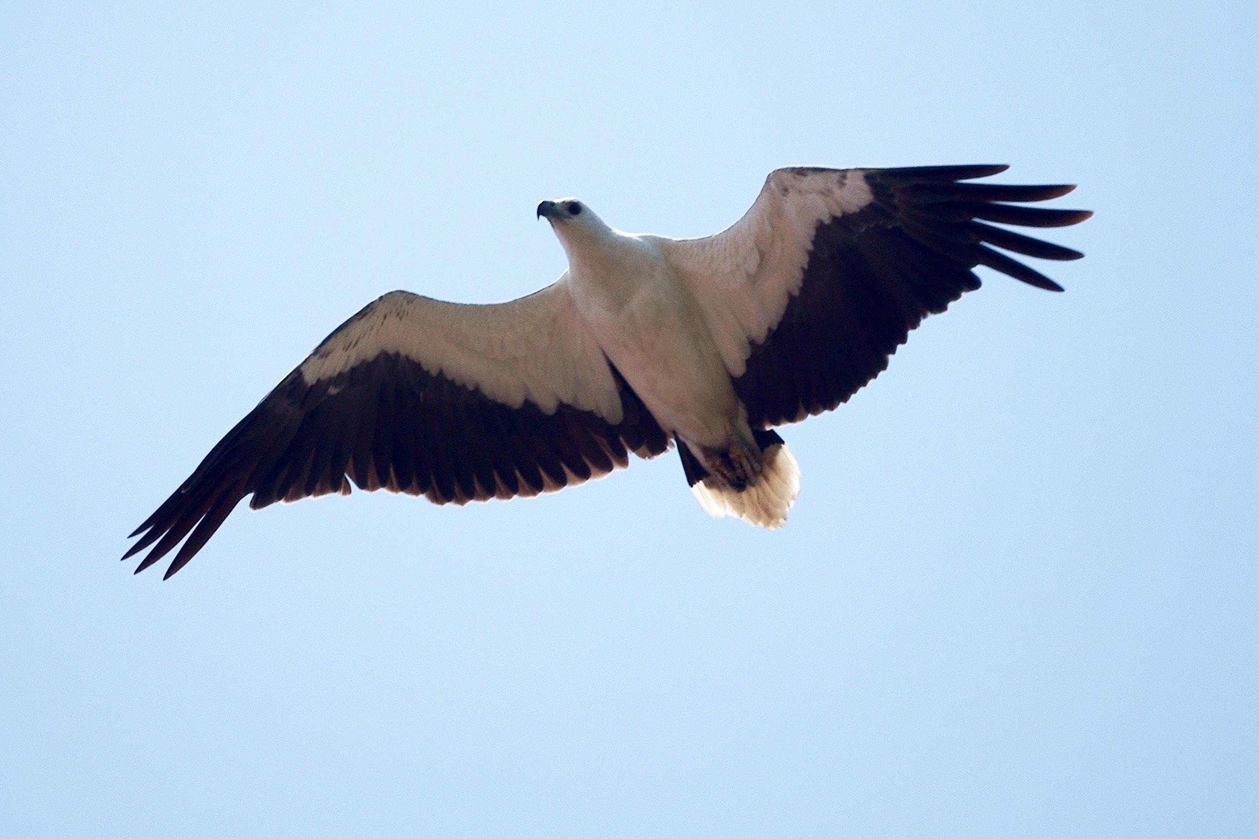 Free stock photo of eagle, flight, flying