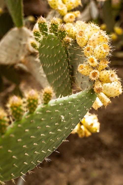 Free stock photo of cacti, cactus, plant