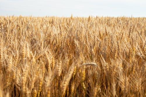 Free stock photo of cereals, grain, grains