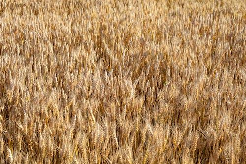 Free stock photo of cereals, grain