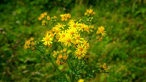 Selective Focus Photography of Golden Ragwort Flowers