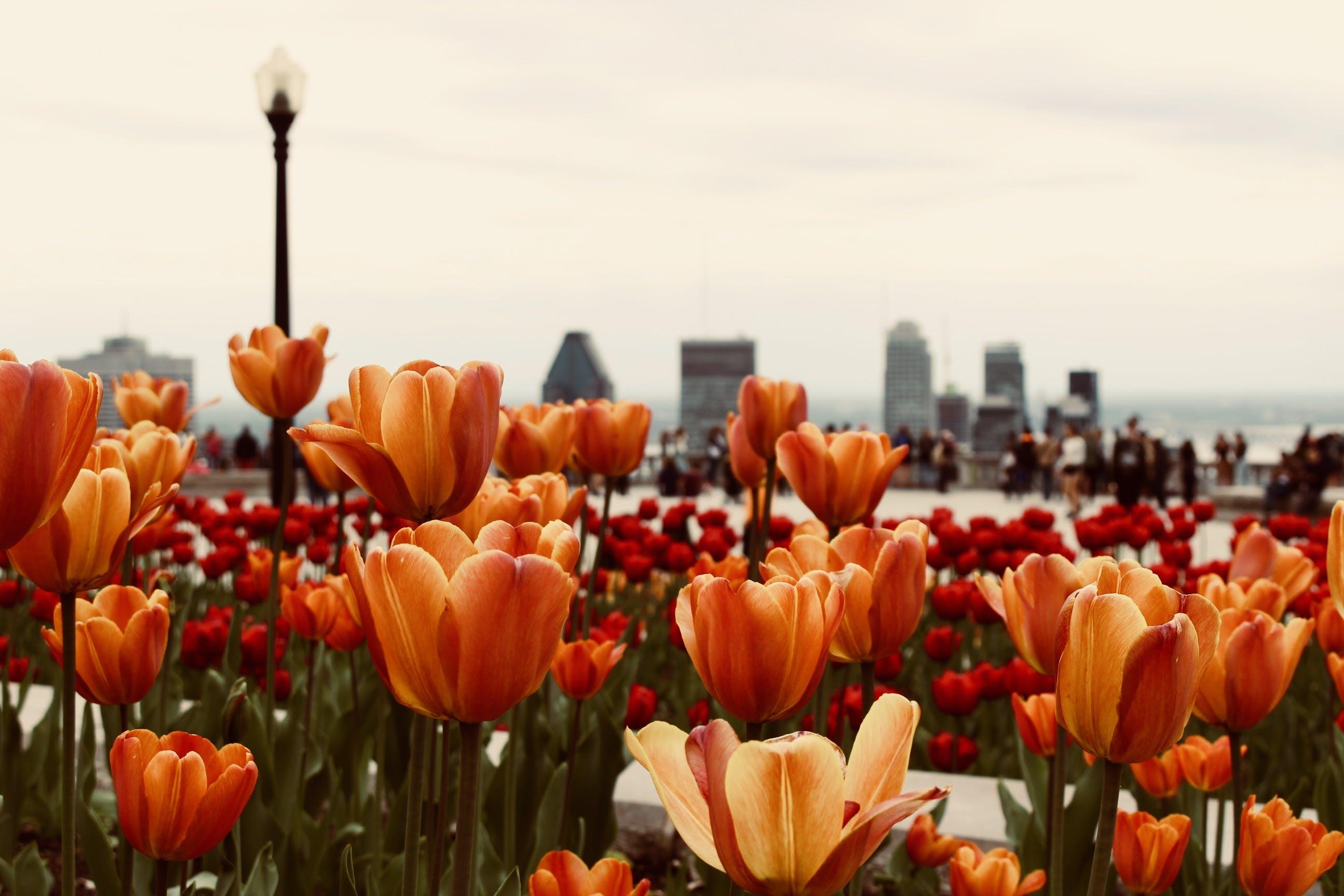 Close-Up Photo of Orange Tulips