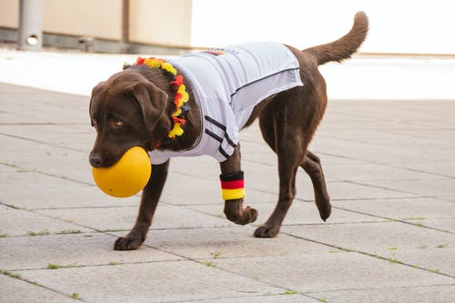 Photo of Labrador Biting Yellow Ball