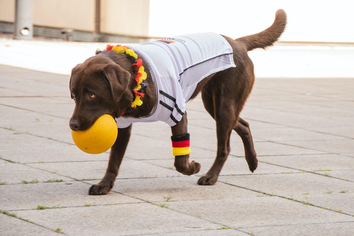 Photo of Labrador Biting Yellow Ball