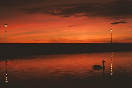 Fotos de stock gratuitas de agua, amanecer, cisne, estanque