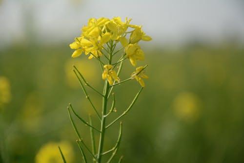 Foto stok gratis alam, bunga kuning, bunga mustard