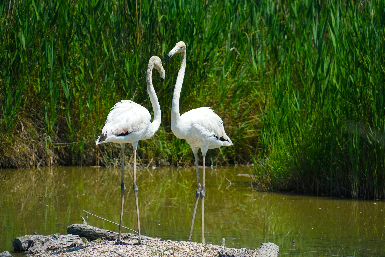 Kostenloses Stock Foto zu flamingo