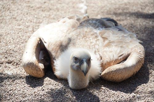 Foto d'estoc gratuïta de àguila, voltor
