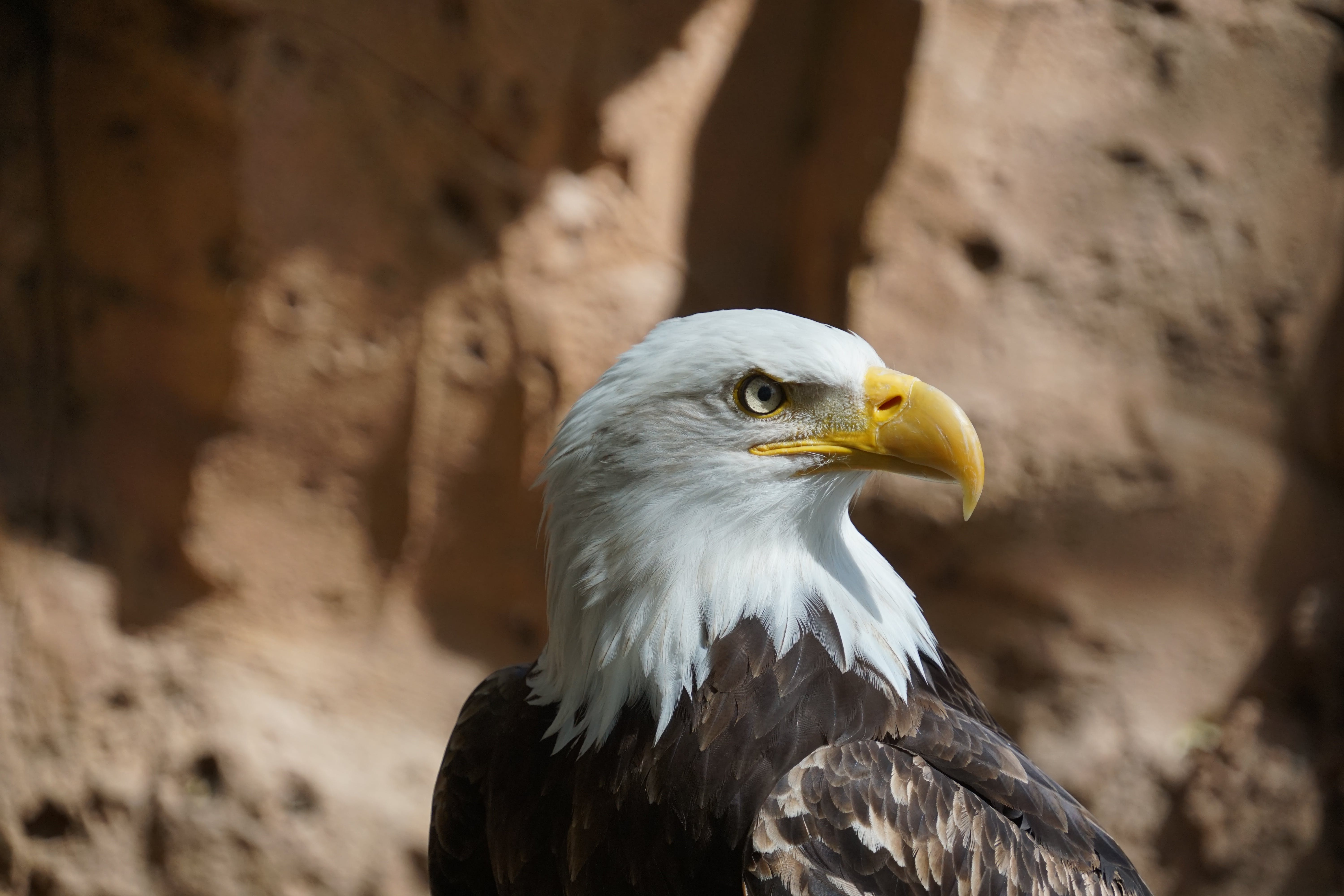 Free stock photo of eagle, vulture