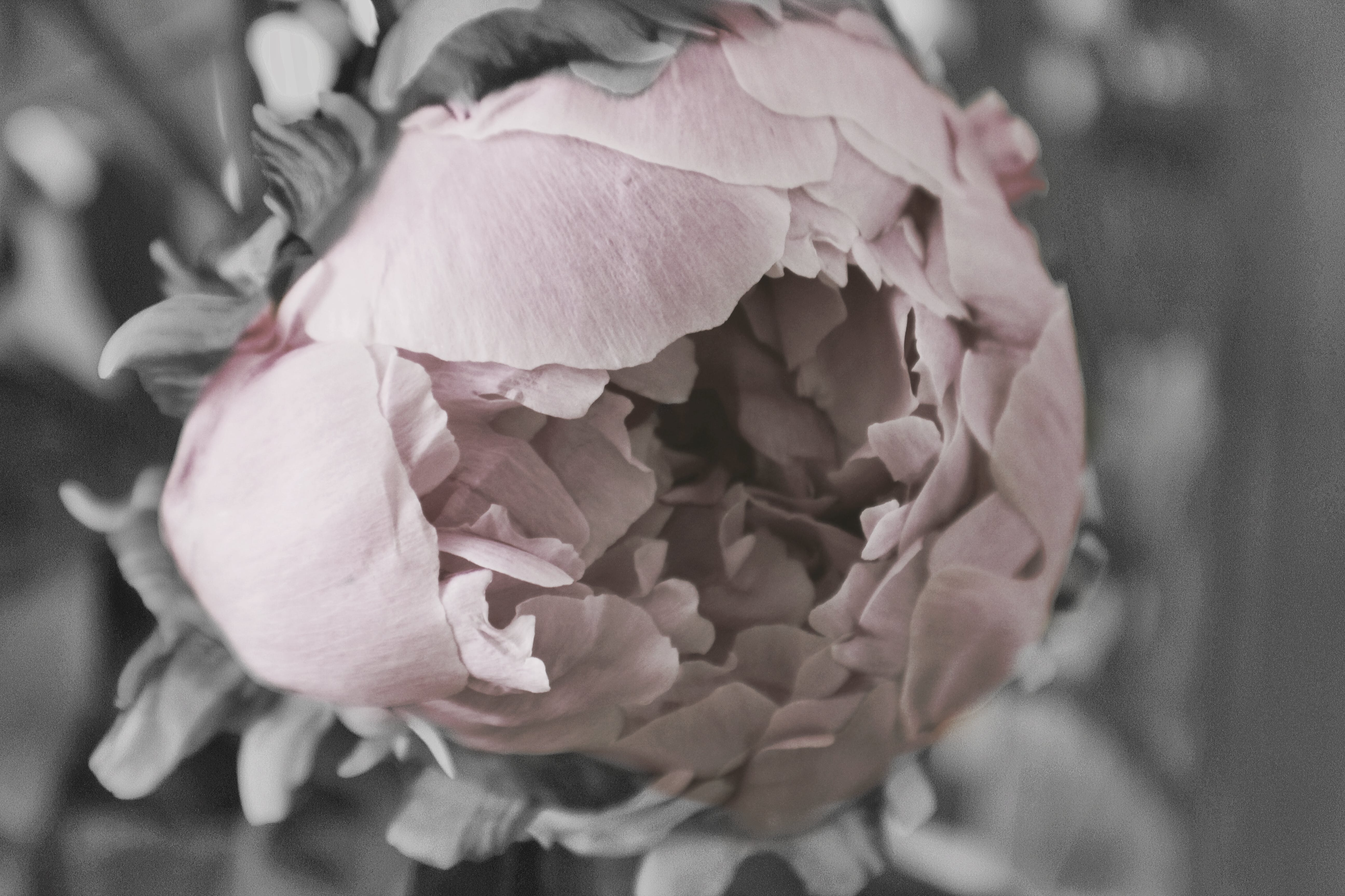 Free stock photo of peony