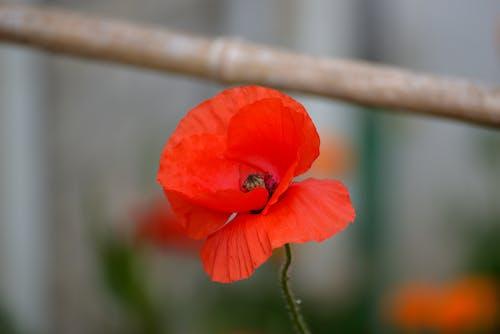 คลังภาพถ่ายฟรี ของ botanique, coquelicot, floraison, flore