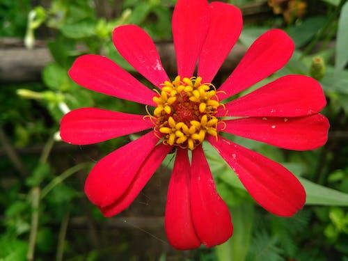 Free stock photo of beautiful flowers, redflower