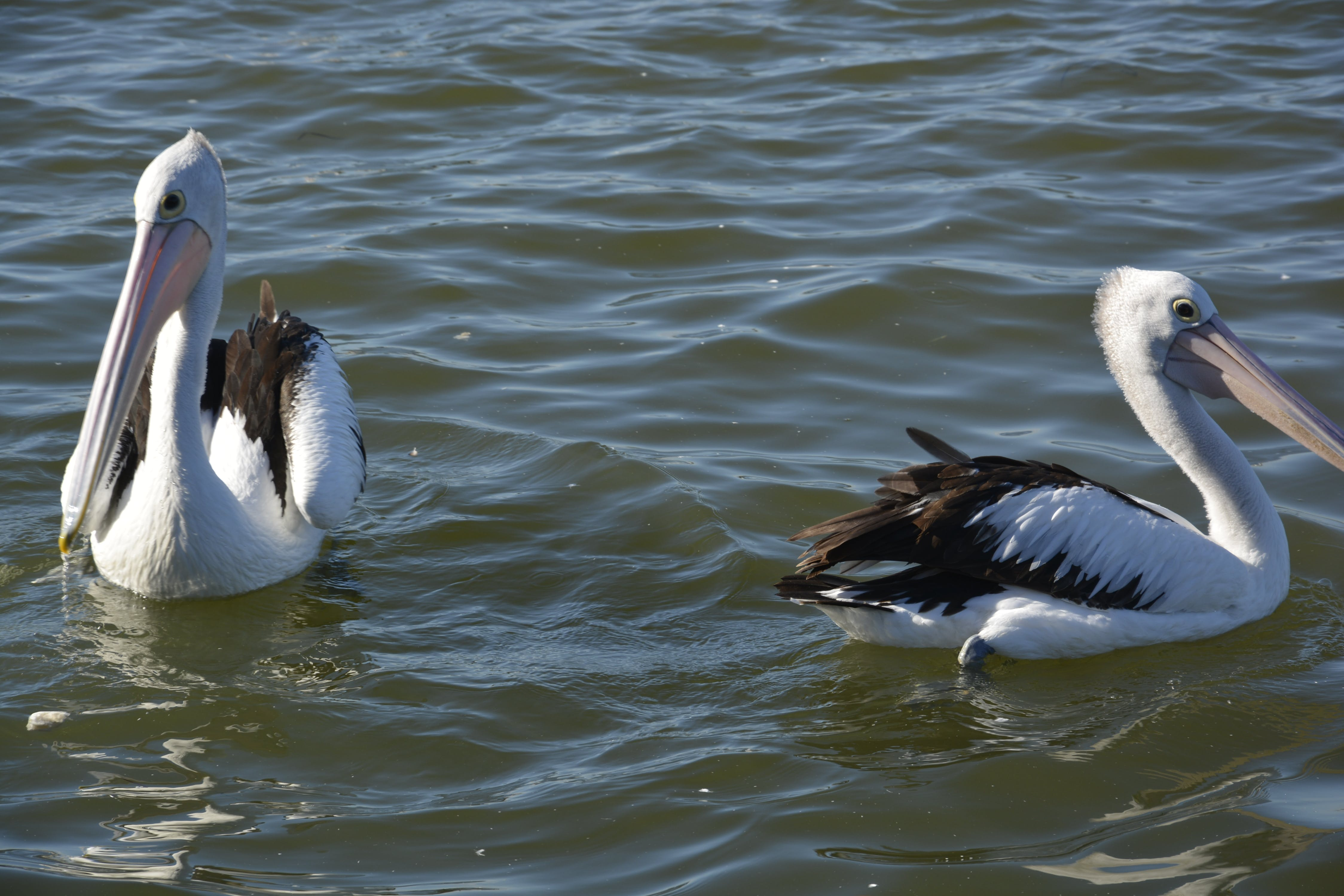 Free stock photo of #bird, #centralcoast, #pelican