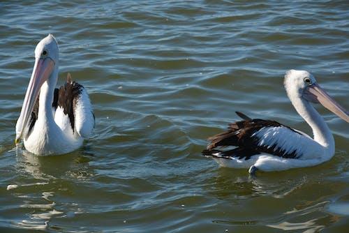 Ảnh lưu trữ miễn phí về #bờ biển trung tâm, #bồ nông, #chim