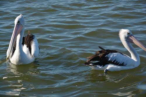 Fotos de stock gratuitas de #costa central, #pájaro, #pelícano