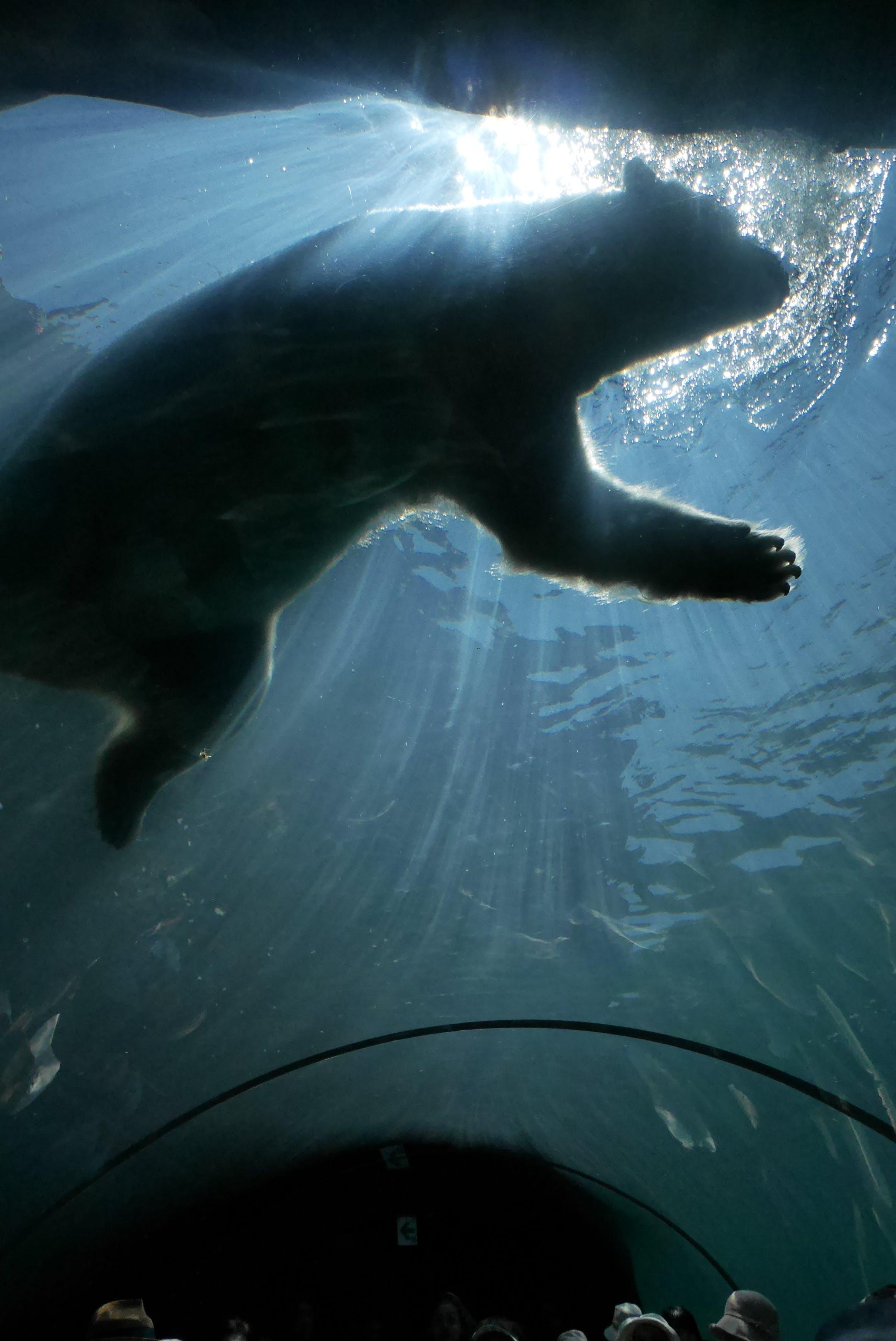 Free stock photo of #polarbear #animal #aquarium #japan #hokkaido