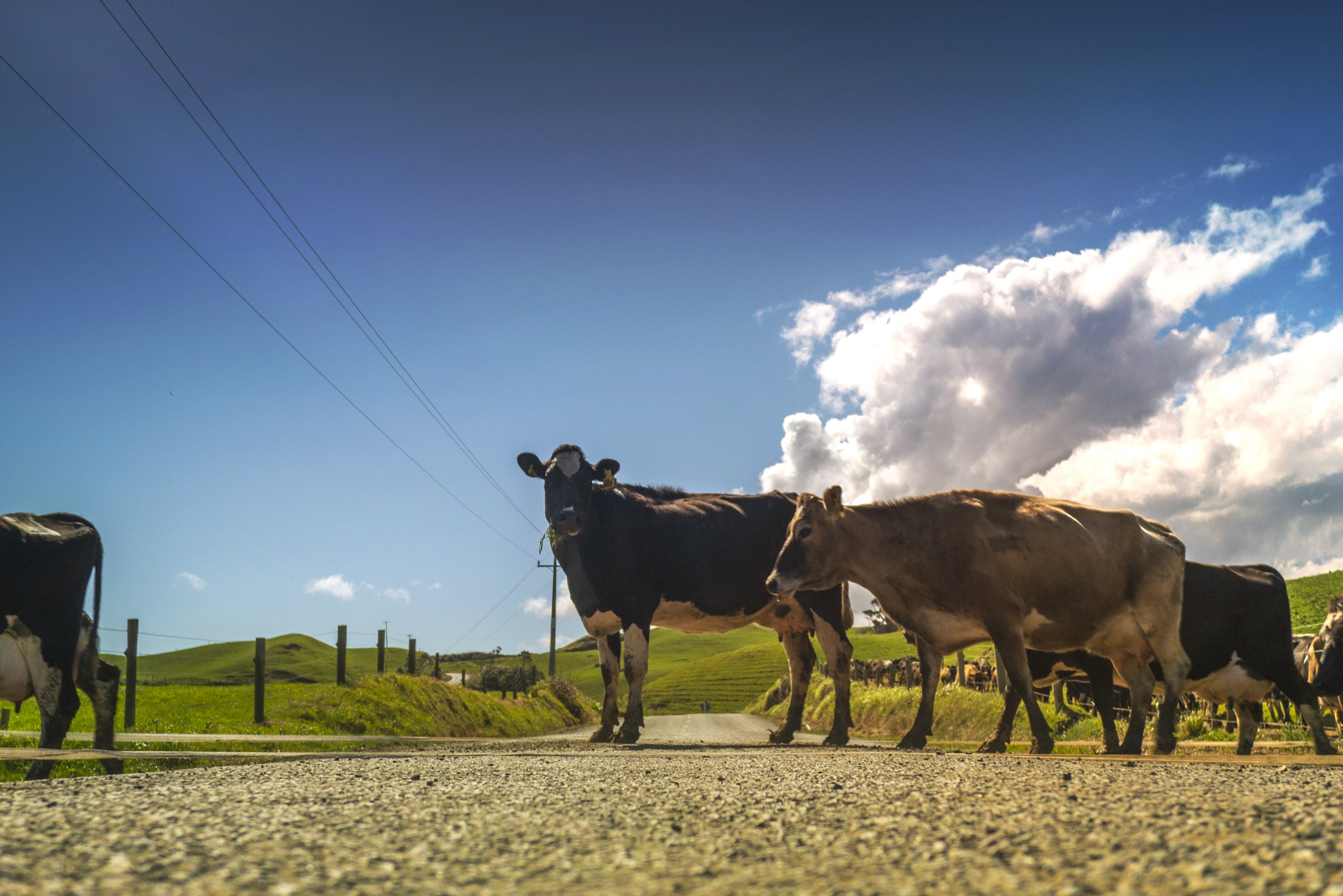Black and White Cow Standing Beside Brown Cow during Daytime