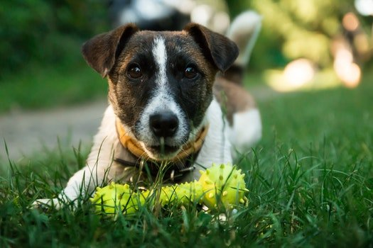 Brown and White Short Coated Dog on Green Green Grass Beside Yellow Dog Bone Toy during Daytime