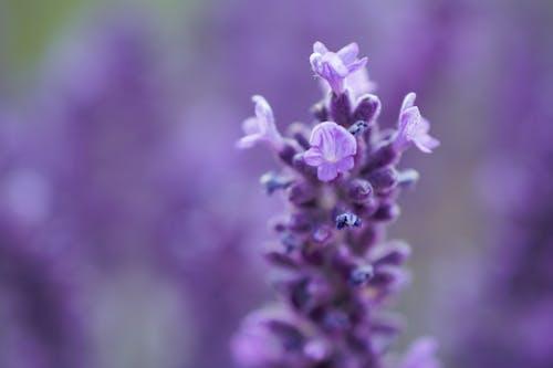Macro Shot Photography of Lavender