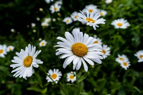 Selective Focus of White Daisy Flower